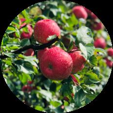 Royal Red Honeycrisp